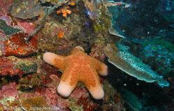BD-060411-Moalboal--Choriaster-granulatus.-Lütken.-1869-[Granular-sea-star].jpg